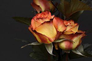 testimonial-rose